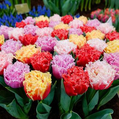 Fringe Benefits Tulip Quartet