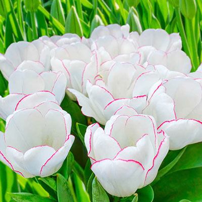 Triumph Tulip Diamond Jubilee