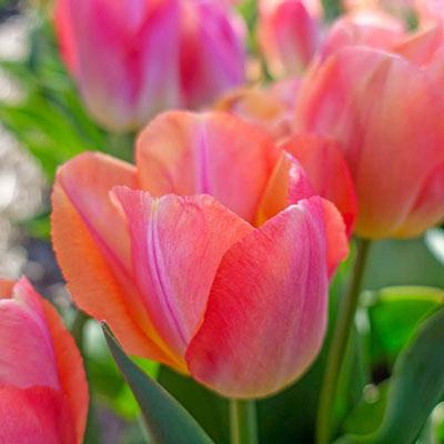 Darwin Hybrid Tulip Cool Pink Lemonade