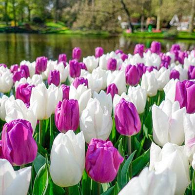 Prince Tulip Combo