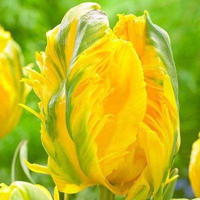 Parrot Tulip Jan van Nes