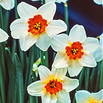 Large flower bed displays an abundance of white daffodils with orange cups