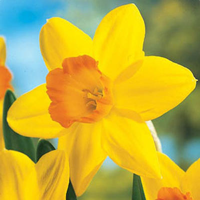 Large Cupped Daffodil Fortune