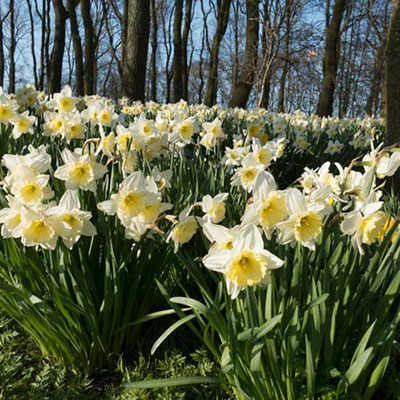 Large Cupped Daffodil Ice Follies