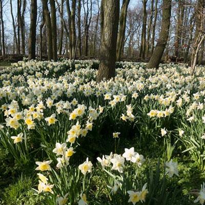 Large Cupped Daffodil Ice Follies
