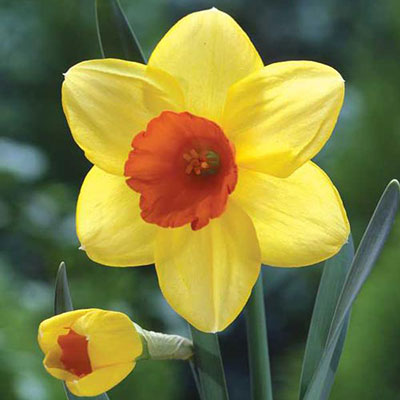 Large Cupped Daffodil Red Devon