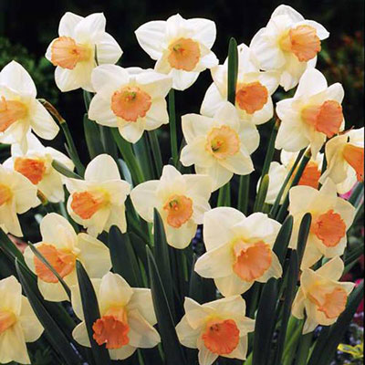Large Cupped Daffodil Salome