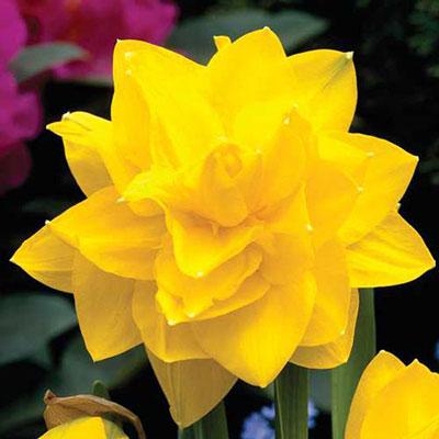 Double Daffodil Golden Ducat