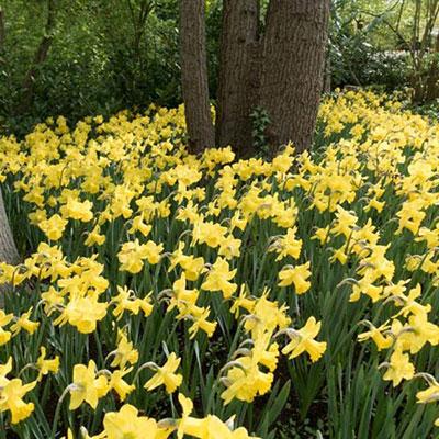 Trumpet Daffodil Golden Harvest