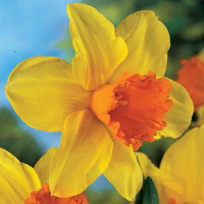Large Cupped Daffodil Fortissimo