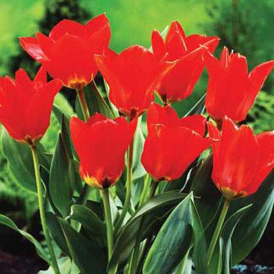 Fosteriana Tulip Red Emperor