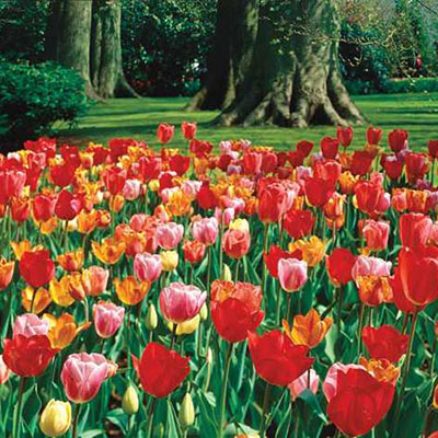 Darwin Hybrid Mixed Mid-Season Blooming Tulips