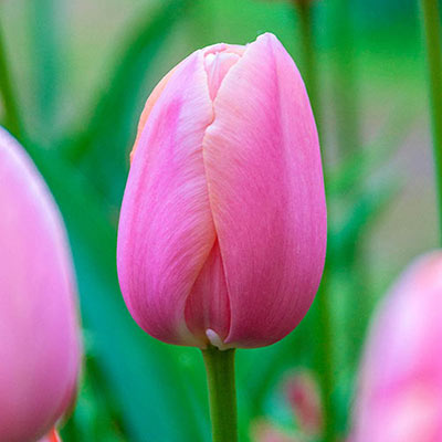 A stand of tall tulips with egg-shaped blooms in hues of pink, some with hints of yellow along the edges of their petals