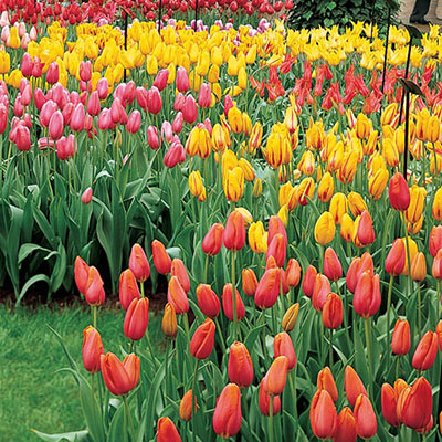Mayflowering Mixed Late Blooming Tulips
