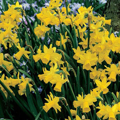 Fragrant Daffodil 'February Gold'