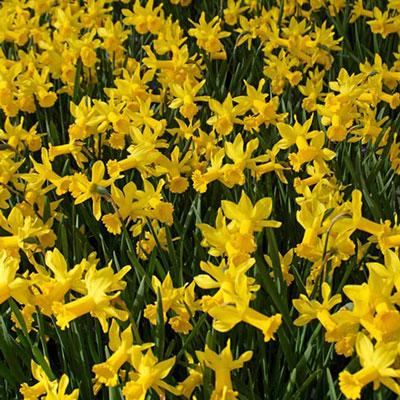 Fragrant Daffodil 'February Gold'