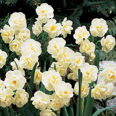 Fragrant Gardenia Daffodil (N. Cheerfulness')