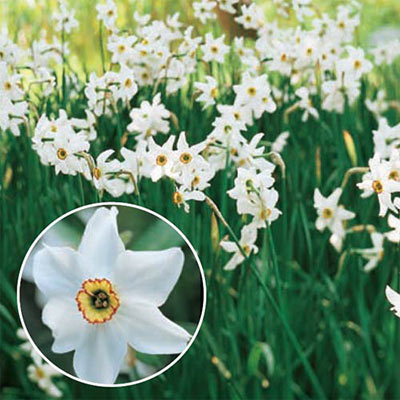 Fragrant Daffodil 'Pheasant's Eye'