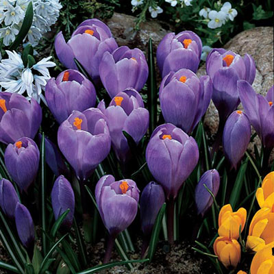 Giant Crocus Grand Maitre