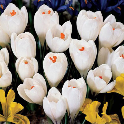 Giant Crocus Jeanne d'Arc