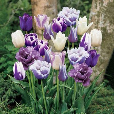 Purple Passion Tulip Blend