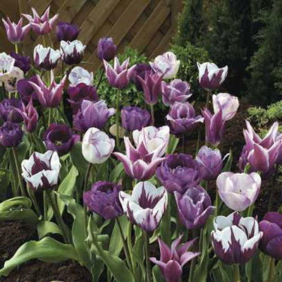 Purple Passion Tulip Blend