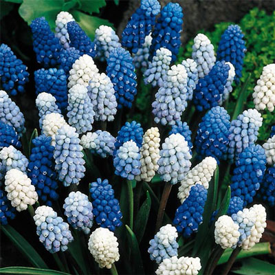 Muscari Magic Carpet Mix