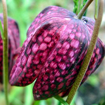 Fritillaria meleagris Mix (Guinea Hen Flowers)
