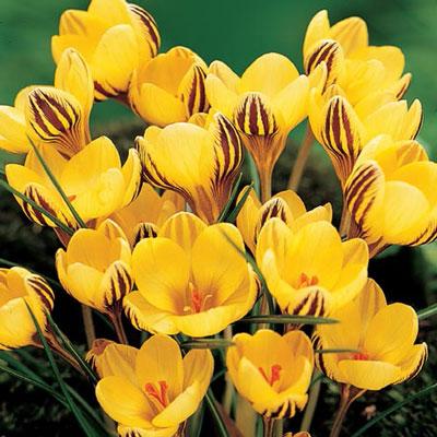 Species Crocus Fuscotinctus (chrysanthus)