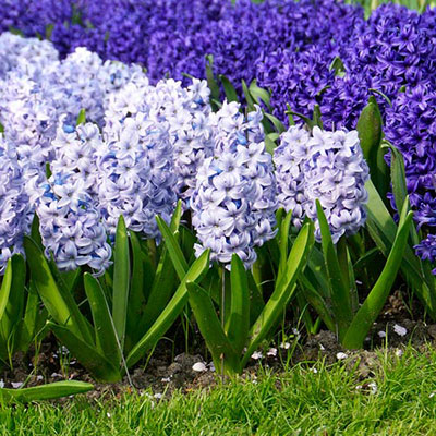 Hyacinth Blue Ice (Sky Jacket)