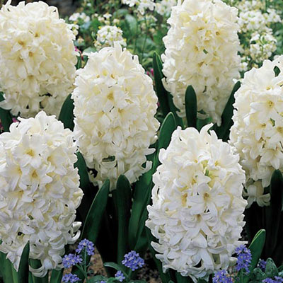 فروش پیاز گل سنبل