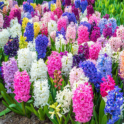 Mixed Hyacinths Large Bedding Size