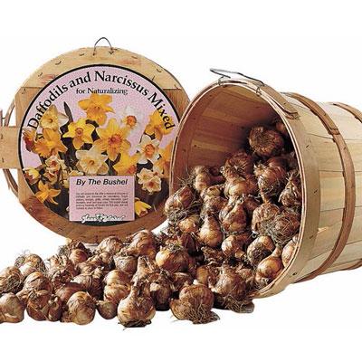 Mixed Daffodils Bushel With Basket