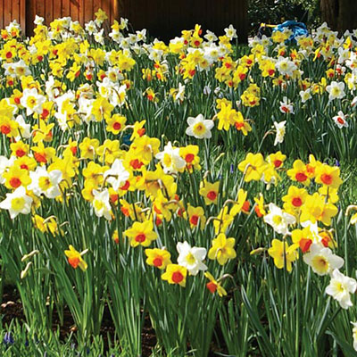 Mixed Daffodils Bushel With Basket