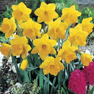 Yellow Daffodils Bushel Without Basket