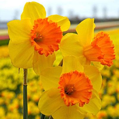 Trumpet Daffodil Orange Progress