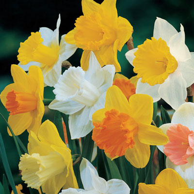 Giant Trumpet Daffodil Mix