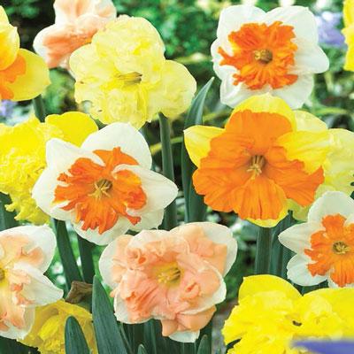 Split Cup Daffodil Mix