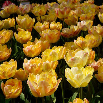 Double Early Tulip Peach Melba