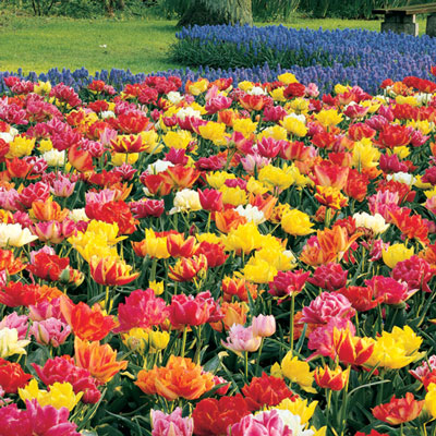 Double Early Tulip Mix