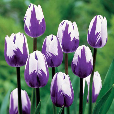 Triumph Tulip Blueberry Ripple<sup>®</sup>