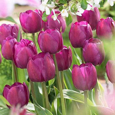 Triumph Tulip Negrita