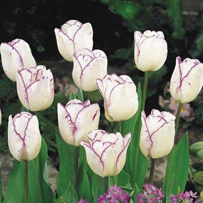 Triumph Tulip Shirley