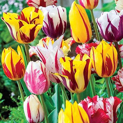 Rembrandt Tulip Mix