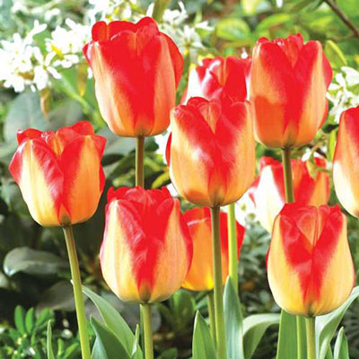 Darwin Hybrid Tulip American Dream