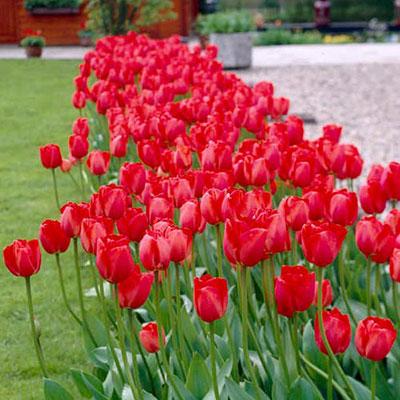 Darwin Hybrid Tulip Red Impression