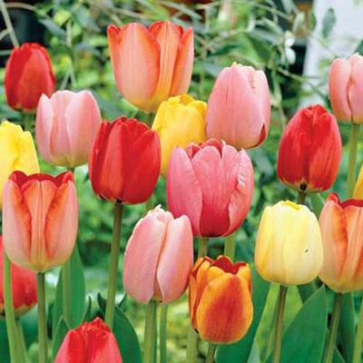 Darwin Hybrid Tulip Mix