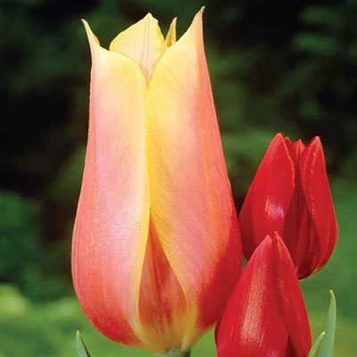 Late-Flowering Tulip Blushing Beauty