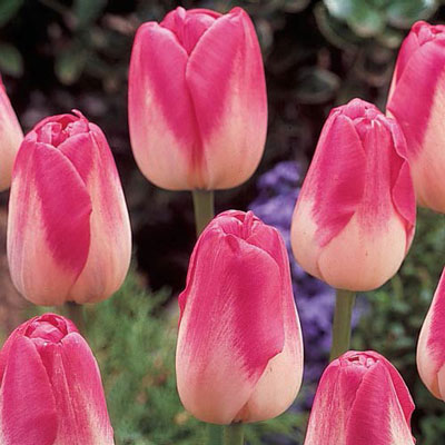 Late-Flowering Tulip Dreamland