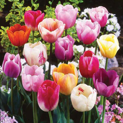 Pastel Mayflowering Tulip Mix